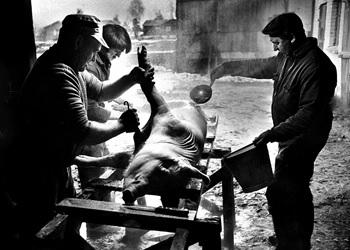Slakting av gris i 1978